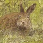 Brown Hare, Hoy