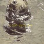 Grey Seal, Stronsay
