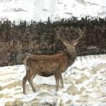 Red Deer, Spey Valley